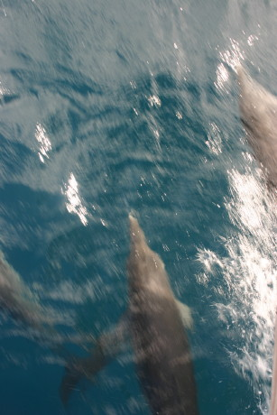 Dolphins on the way to Tortuga